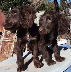 Cuccioli di Spaniel Tedesco