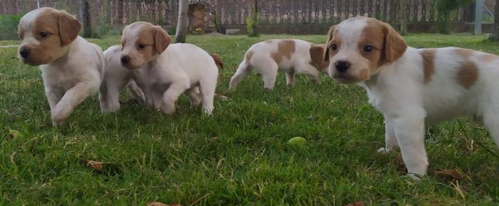 Cuccioli Epagneul Breton