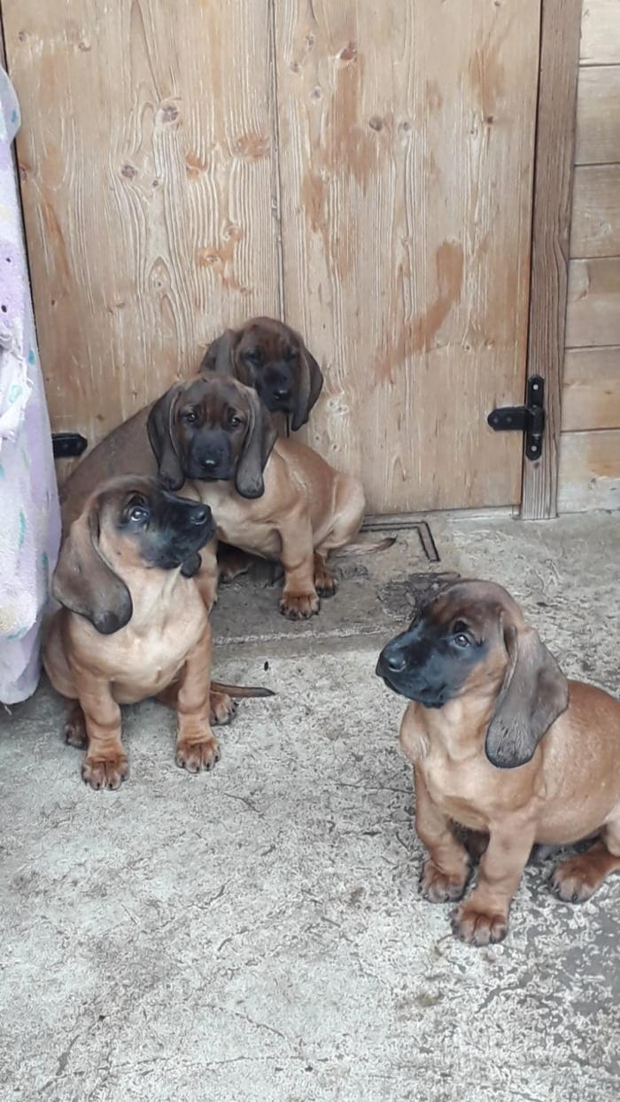 Cuccioli Segugio Bavarese