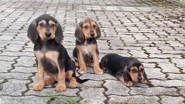 Cuccioli di Segugio Italiano