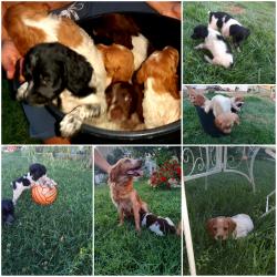 Cuccioli di Èpagneul Breton