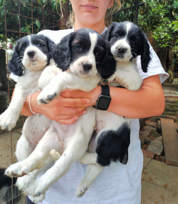 Cuccioli di Springer Spaniel