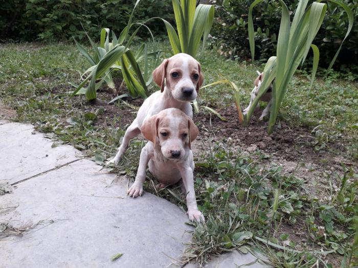 Cani da caccia Pointer