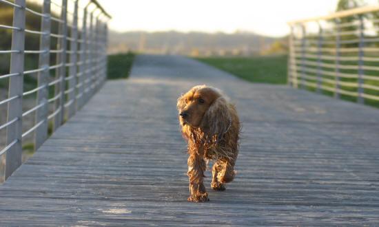 cani da caccia: Cocker spaniel, cane razza da cerca