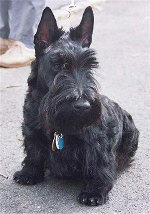 loscottish terrier e' un cane da caccia da tana