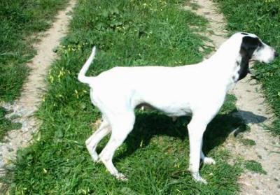 L'ARIEGEOIS e' un cane da seguita la cui razza e' stata selezionata in Francia