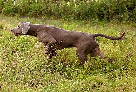 Addestramento cane da caccia