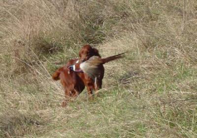 Il SETTER IRLANDESE e' un cane da ferma Inglese