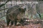CACCIA CINGHIALI IN BATUTTA - CROAZIA