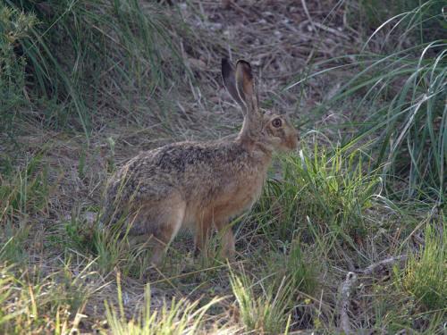 Caccia alla lepre in Sardegna