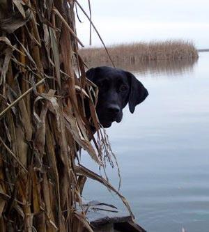 Cane da Caccia da riporto ha bisogno di una corretta alimentazione per poter affrontare al meglio l'azione di caccia