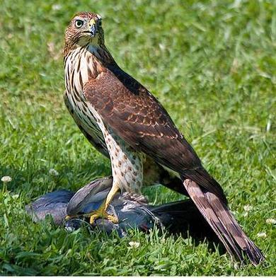falconeria