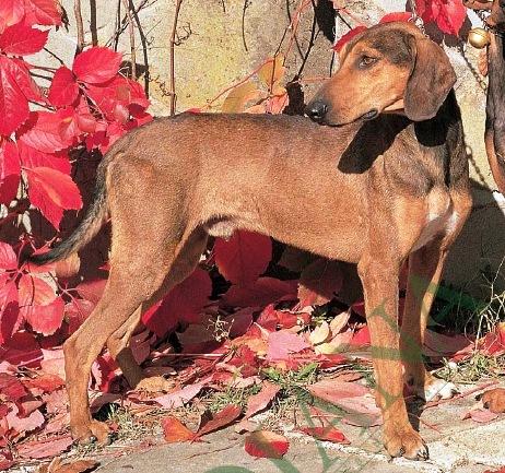 Cani da caccia: intossicazioni da piante velenose