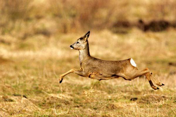 Caccia al Capriolo, mulato un cacciatore mentre da la caccia a un esemplare di capriolo maschio.