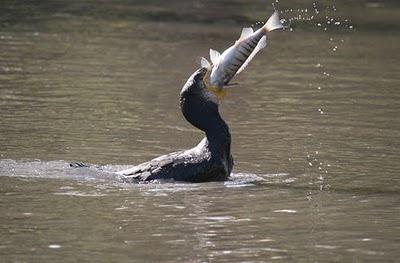 cormorani in Sardegna
