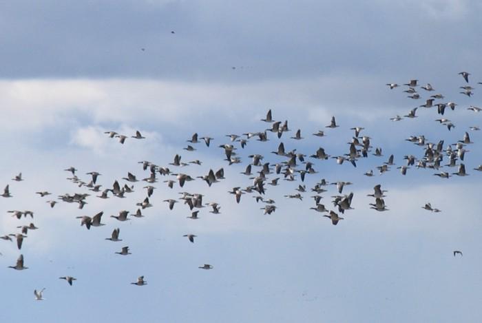 La cartuccia TUNG SHOT della Mirage è perfetta per tiri a lunga distanza: raccomandata per anatre e oche, e per la caccia presso gli habitat umidi.