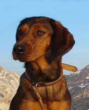 Alpenlaendische Dachsbracke: cane da traccia di sangue per la caccia agli ungulati, alla lepre ed alla volpe.