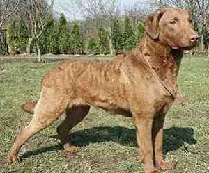 Cani da Riporto: Come addestrare il cane da caccia all'arte del riporto, un'arte per lui non naturale nè istintiva.
