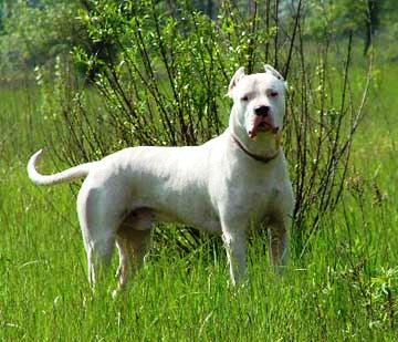 Dogo Argentino A Caccia Grossa Con Il Dogo Argentino Caccia Passione