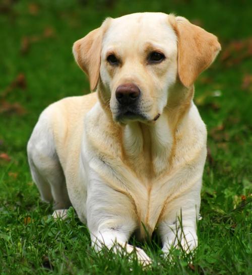 CANI DA RIPORTO: Impariamo insieme a addestrare i Cani da Riporto, infatti il riporto nel cane da caccia è il completamento del percorso di formazione venatoria.