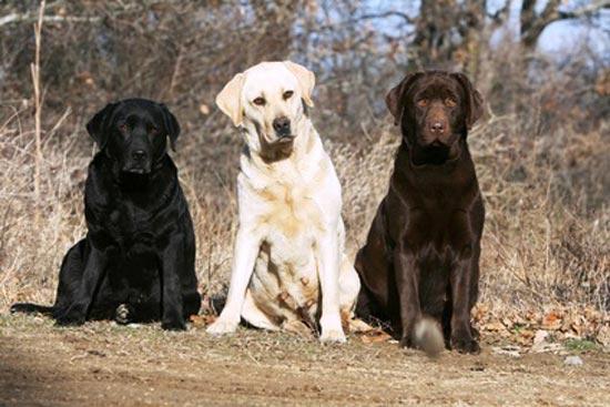 Cani da Caccia Retrievers a confronto