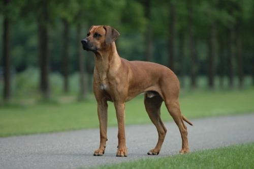 Il Rhodesian Ridgeback è un cane adatto sia alla caccia di prede