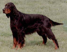 Setter gordon cane da caccia specializzato per la for Cane setter