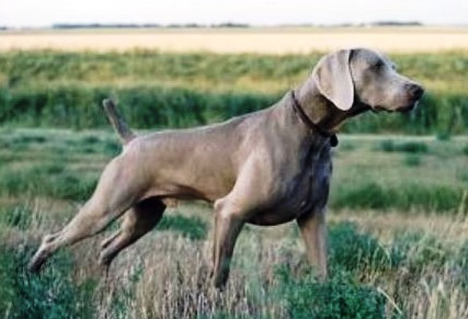 Weimaraner E Bracco Tedesco A Confronto Cani Da Caccia Nobili Per