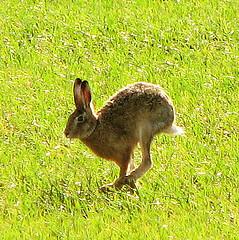 La lepre italica: conoscere questo animale e le sue abitudini