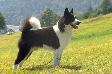 Il Cane Da Orso Della Carelia Caccia Passione
