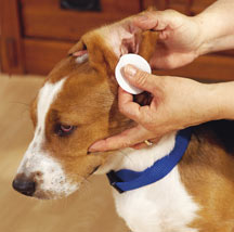 Best Way To Wash Dog Ears
