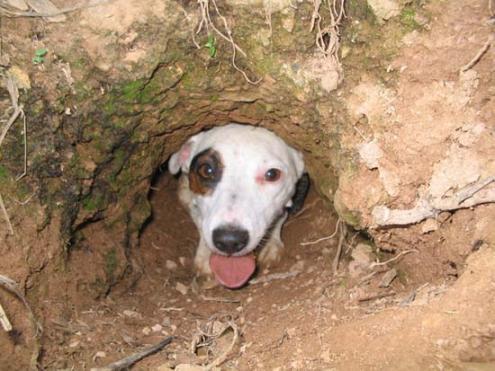 Jack Russell Terrier Piccolo Ma Grande Cacciatore Caccia Passione