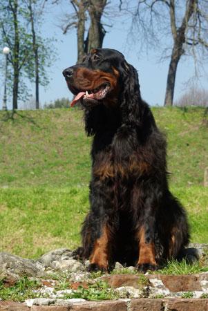 Setter gordon cane da caccia specializzato per la for Setter irlandese carattere