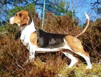 Cani da seguita: Basset Artésien Normand