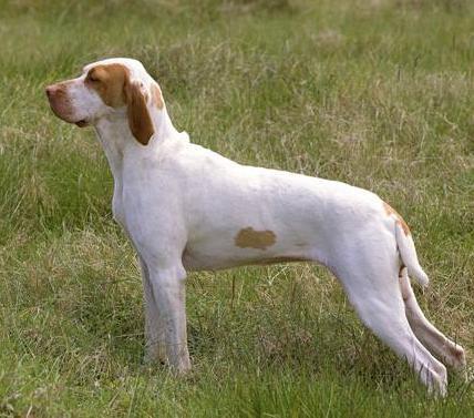 Bracco d'Ariége: cane da cerca, ferma e riporto
