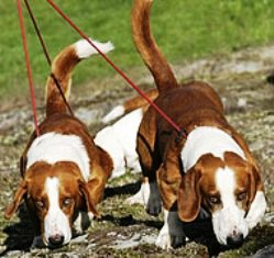 Drever, o bassotto svedese: il migliore cane per la caccia al capriolo in Svezia