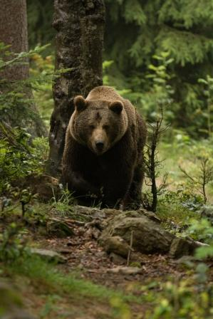 Caccia all'orso bruno in Bulgaria e Romania