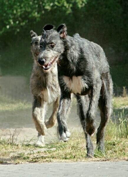 Caccia Grossa Con Lirish Wolfhound Caccia Passione
