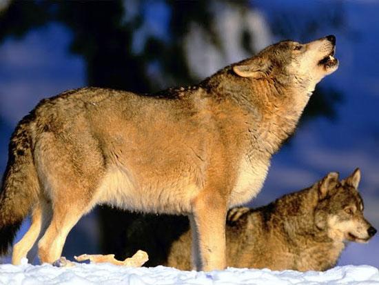 Gestione del lupo