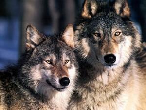 Abbattimenti dei lupi