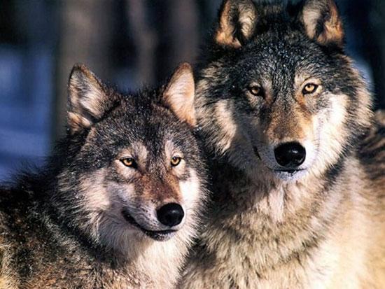 I lupi sono tornati