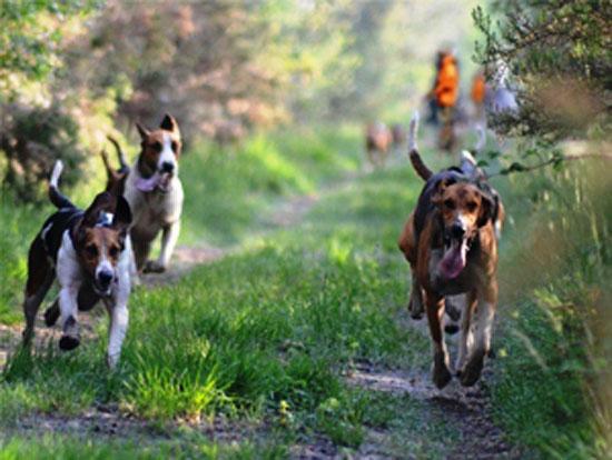Segugi su Lepre - Cani da seguita