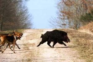 Cani da seguita su cinghiali e lepri