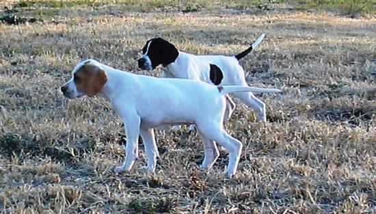 Cani Da Caccia Limportanza E Il Valore Del Gioco Nel Cucciolo Di