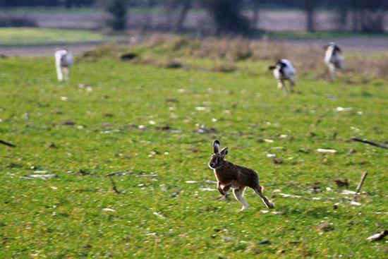 Caccia alla Lepre - Cani da seguita