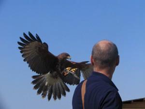 Esperienza di falconeria moderna
