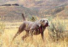 Cani da ferma su quaglie liberate