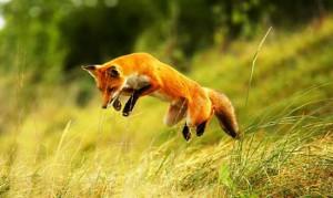 Controllo delle volpi in girata
