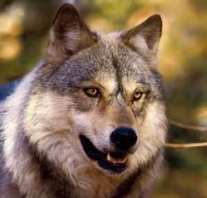 Abbattimenti controllati dei lupi