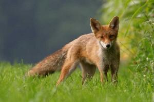 Divieto di caccia alla volpe